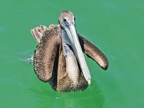 Brown Pelican 2-20150409