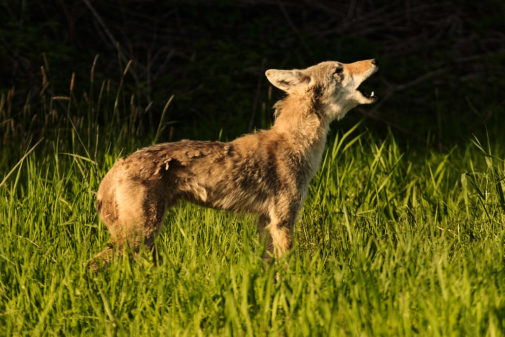A coyote howls at Ridgefield National Wildlife Refuge