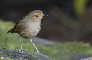 White-browed Shortwing_15-01-29_Brachypteryx montana