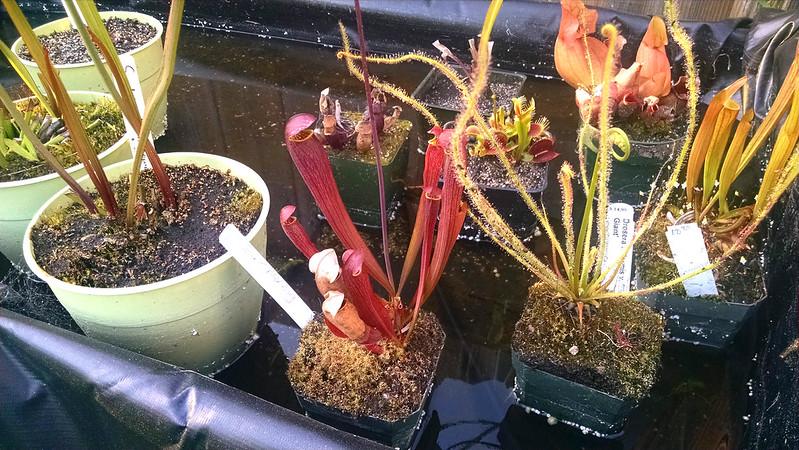 Sarracenia 'Red Bug'