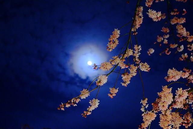 月見桜 Sakura and Moon Viewing