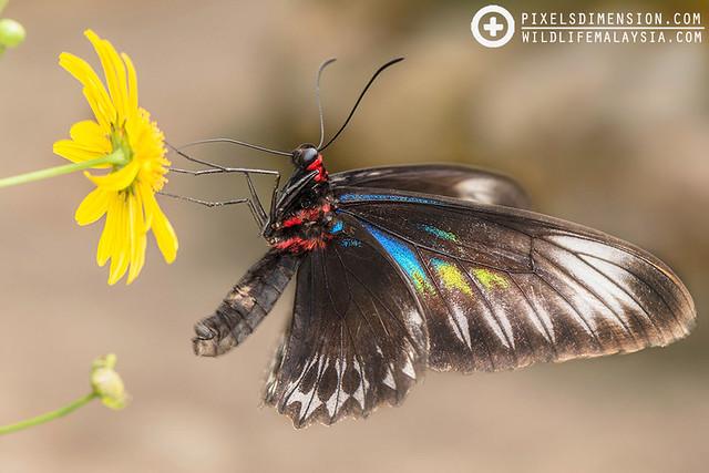 Rajah Brooke's Birdwing- Trogonoptera brookiana ♀