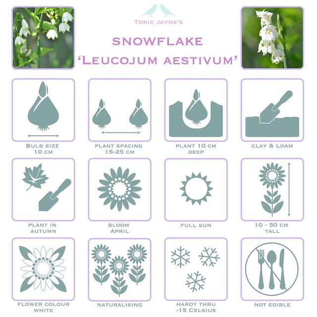 Snowflake Leucojum aestivum