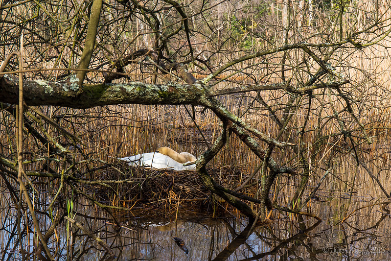 The swans are nesting again