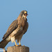 Swainson's Hawk, Buteo swainsoni with TX Horned Lizard prey by ashleytisme