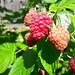 Solar berry