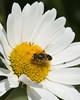 Hoverfly on daisy_edited-1