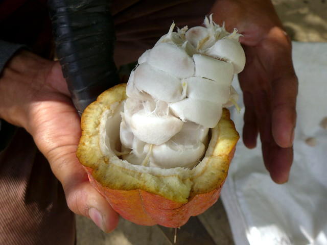 Normal cacao seeds when fruit is opened.
