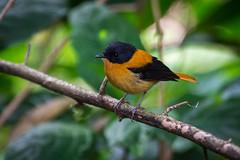 Black and Orange Flycatcher (Male)