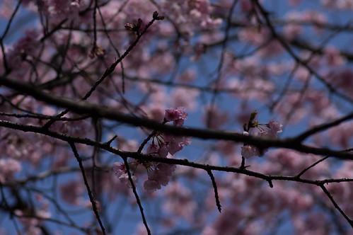 _IMG0590桜
