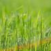 Grass spring