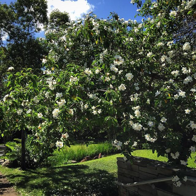 Cordia sebestena (Geiger Tree) #nature #tree #plant #flowe ...
