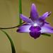 Dendrobium kingianum 'Steve' species orchid 2-15