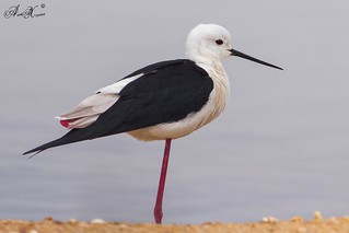 Pernilongo, Black-winged stilt (Himantopus himantopus) - em Liberdade [in Wild]
