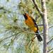 Spot-breasted Oriole by Cajunspice