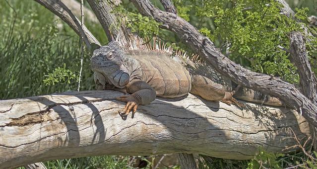 Big Lizard 34-7D2-250416