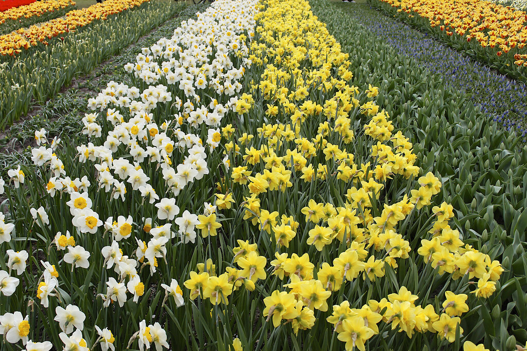 Keukenhof, is one of the world's largest flower gardens