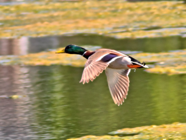 Mallard in flight HDR  2-20160502