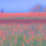 Texas Wildflowers_2016_Fields
