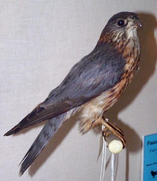 Falco columbarius 27059800006_e384dec4da_o
