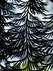 Thuja sp. Cypress Tree