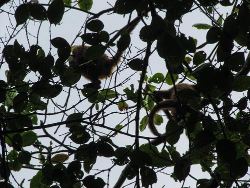 Tortuguero: deux singes-araignées au sommet d'un arbre