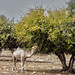 Small photo of Argan tree