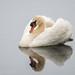 swan by Bart Hardorff