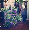 Purple hydrangea, hyssop, vervain and mullein on the drying rack, along with a hand made wreath base. It's a very green and purple kind of Saturday. #herbs #flowers #magicalherbalism #greenwitch #thewitchsgarden #witchesofinstagram #witchcraft
