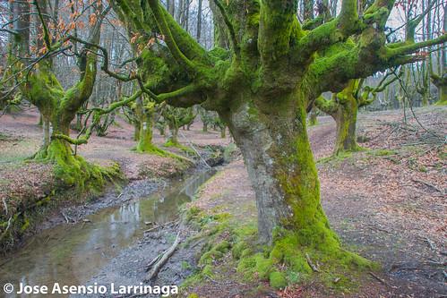 Hayedo de Otzarreta . Parque Natural de Gorbeia 2015 #DePaseoConLarri #Flickr -067