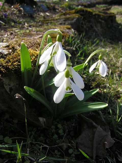Galanthus plicatus, Tallinn BG