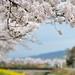 堤の桜 by myu-myu