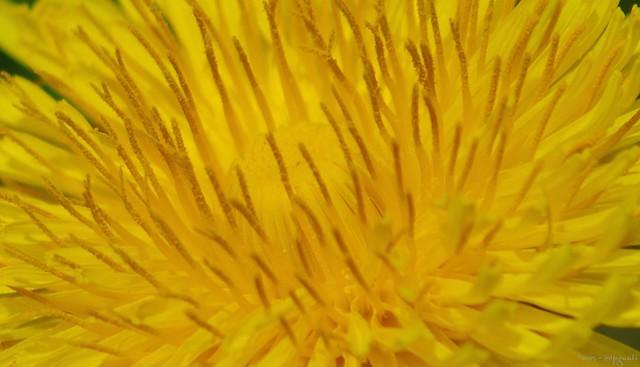 Inside dandelion