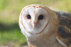 Barn Owl Closeup