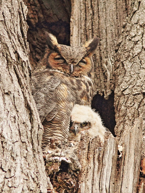 Great Horned Owls 20150422
