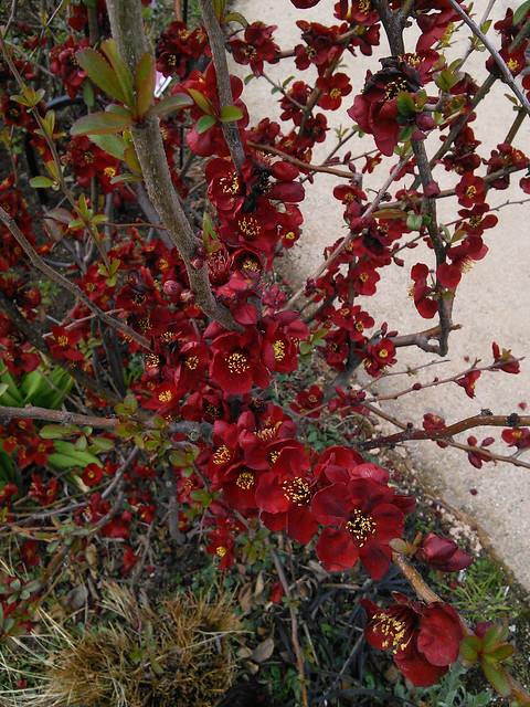 深紅の木瓜