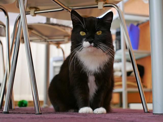 Tussi in a classy, classic cat pose