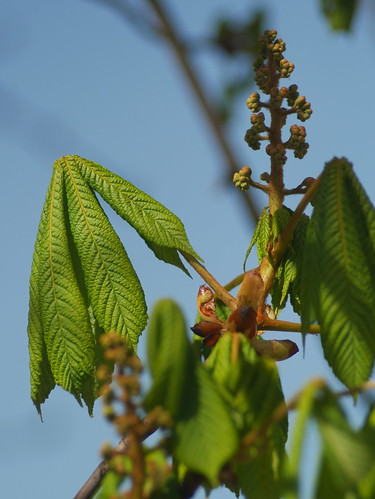 Aesculus hippocastanum - Spring Growth