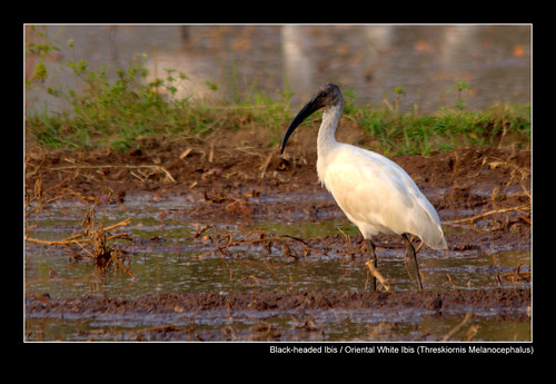Back-headed Ibis