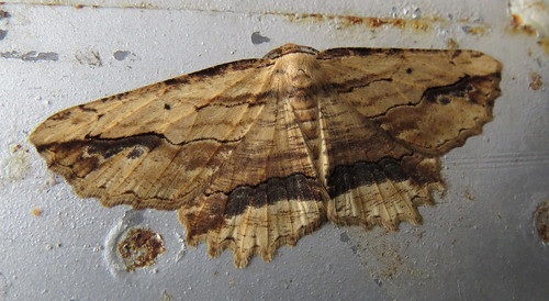 Waved Umber Menophra abruptaria Tophill Low NR, East Yorkshire April 2015