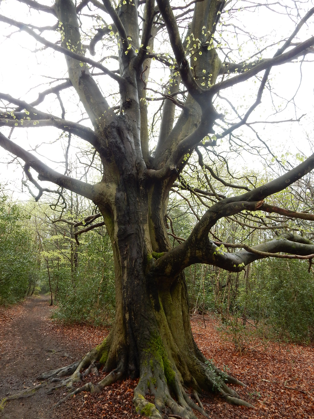 Big Tree Hurst Green to Chiddingstone Causeway
