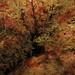 Small photo of Sea Cucumber (Aslia lefevrei)