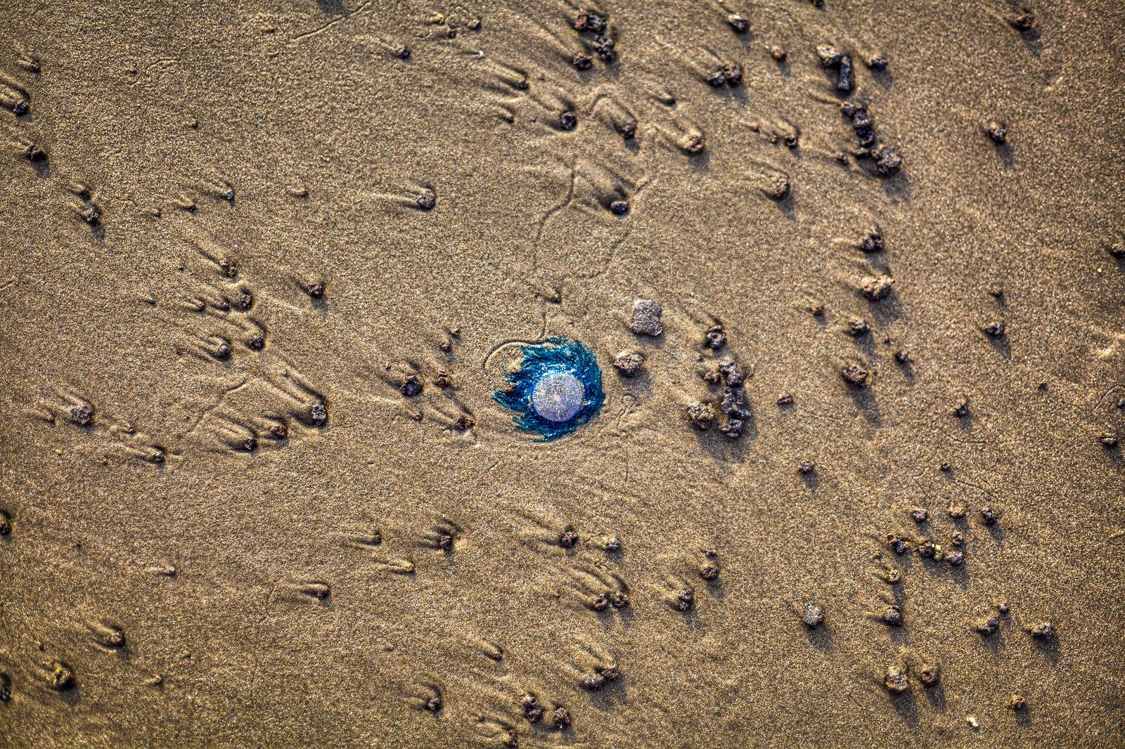 Alien Life (Porpita Porpita) at the Ashwem Beach