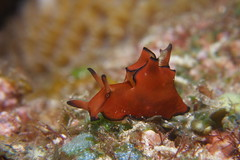 クロヘリアメフラシ Aplysia parvula