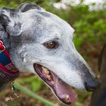Greyhound Adventures at Hopkinton State Park, Hopkinton MA, May 17th 2015
