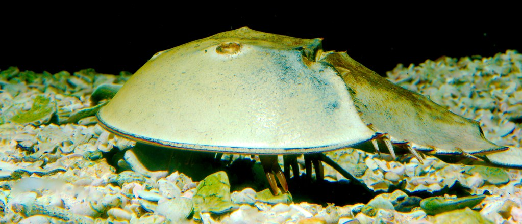 Horseshoe Crab_2