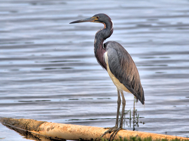 Tricolored Heron HDR 01-20160519