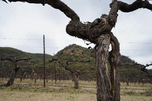 a hard life, old Shiraz vines