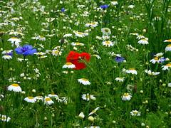 Wildflower meadow in Hedon