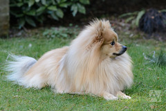 japanese spitz(0.0), volpino italiano(0.0), tibetan spaniel(0.0), scotch collie(0.0), icelandic sheepdog(0.0), dog breed(1.0), animal(1.0), german spitz klein(1.0), dog(1.0), german spitz(1.0), phalã¨ne(1.0), german spitz mittel(1.0), carnivoran(1.0), pomeranian(1.0),